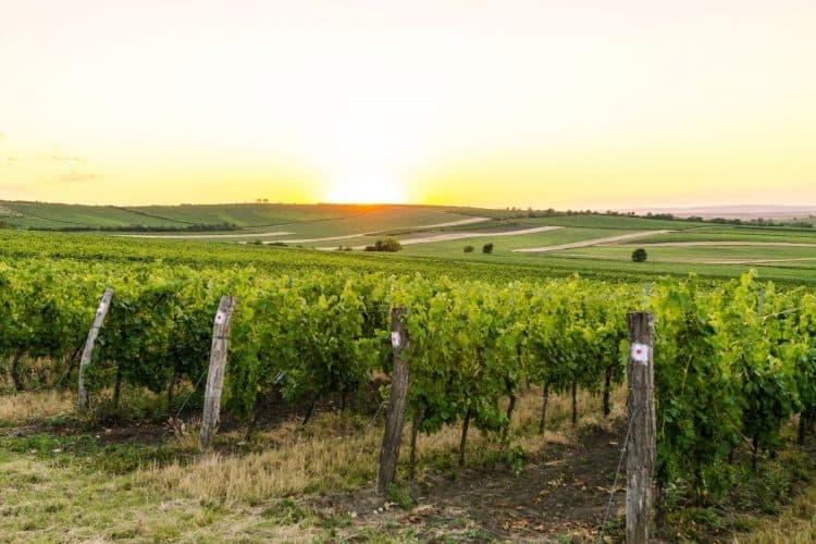 A photo of a vinyard at sunset